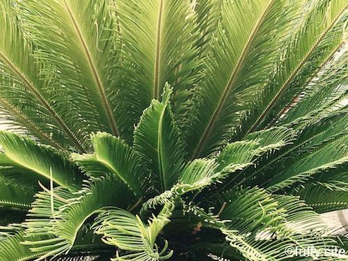 ソテツ 植物