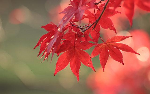 Maples 紅葉