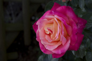 Beautiful Rose バラ