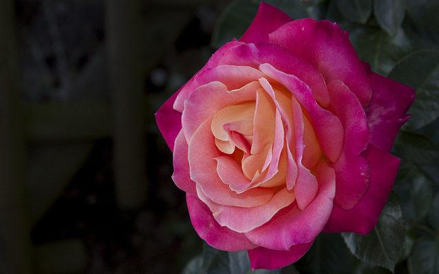 Beautiful Rose バラ