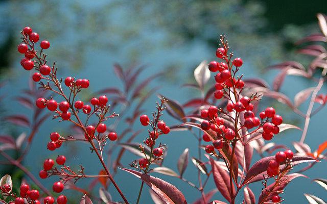 berries 南天