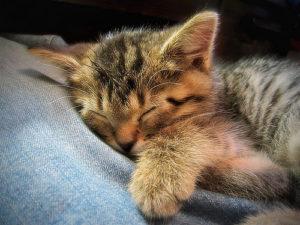 Sleeping Cat 猫