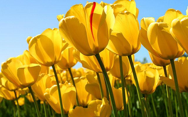 Tulips チューリップ