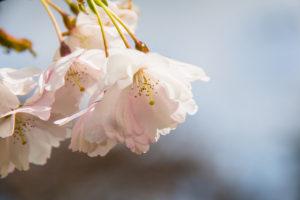 Spring blossom 春の花