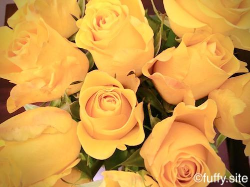 黄色い薔薇 yellow roses