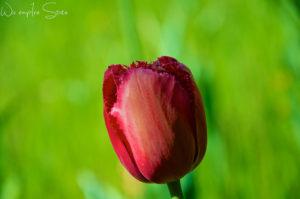 Flowers Tulip 花 チューリップ