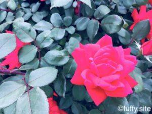 Rose ミニバラ