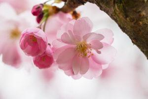 Pink blossom 春 桜