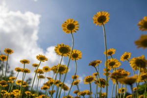 Yellow Flowers 夏の花