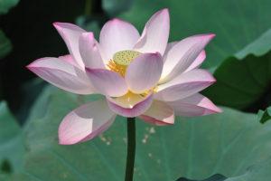 Lotus 睡蓮