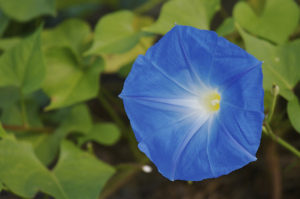 Blue Morning Glory あさがお