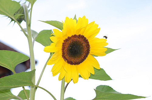 Sunflower and Bee ひまわり