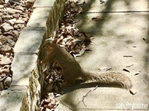 Squirrel リス