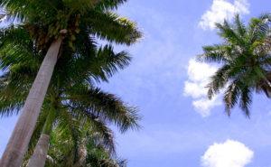 Palm Tree パームツリー