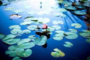 Water lily 睡蓮
