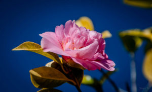 Pink of Dark Blue