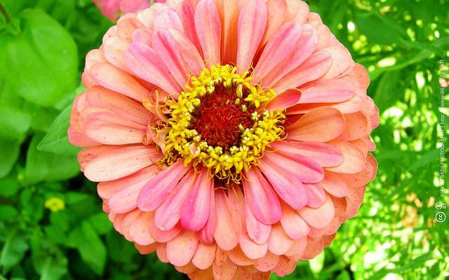 Zinnia Flower 百日草
