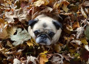 Pug Fall 秋 パグ