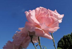 November Pink Flower