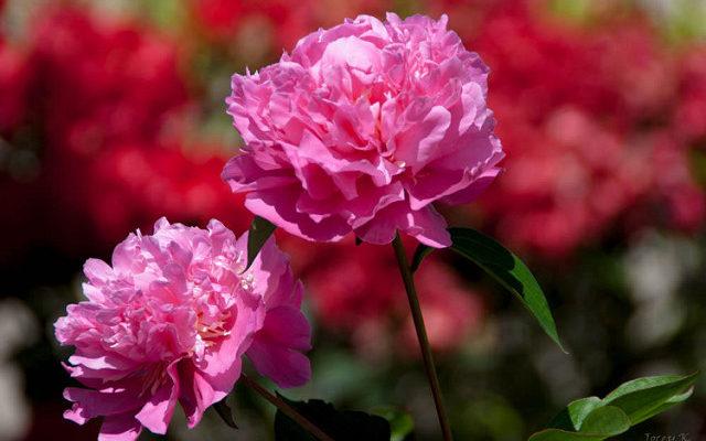 Beautiful Couple 花