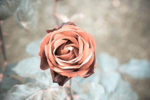 Cole Rose バラ