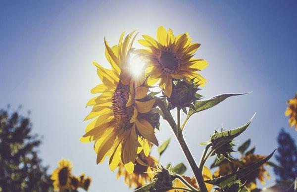 Sunflowers ひまわり