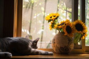 cat sunflowers