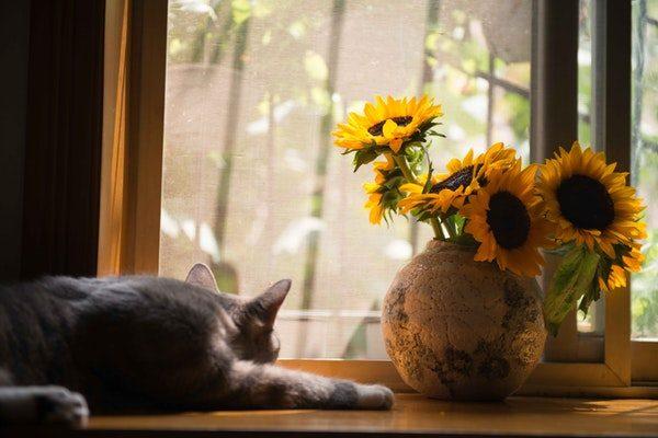 cat sunflowers