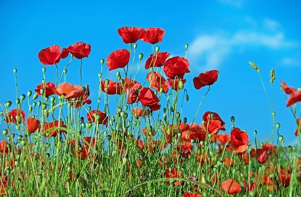 red poppy blue sky
