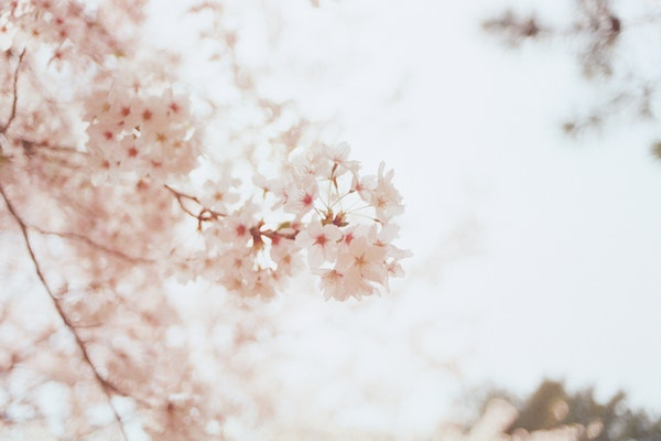 cherry blossoms Pale Tones