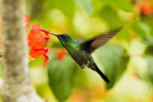 hummingbird 鳥
