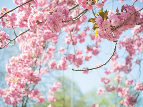 pink flowers cherry blossoms