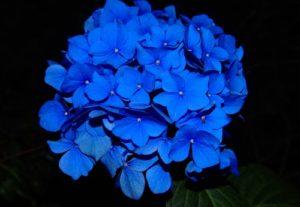 Blue Flower あじさい