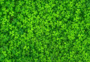clover leaves green