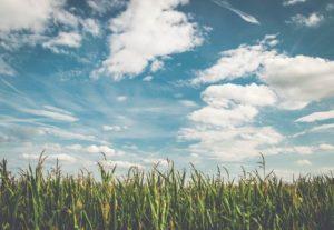 corn fields 空