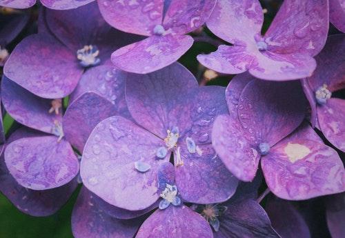 purple あじさい