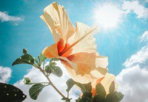 sun hibiscus