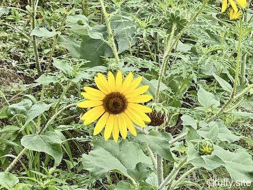 sunflower ミニひまわり
