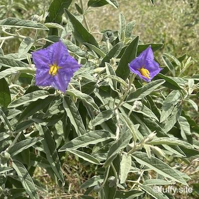 purple flowers Solanum elaeagnifolium シルバーリーフ・ナイトシェード