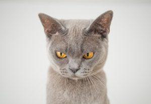 Gray Hair Cat