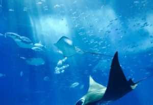 Manta ray Ocean