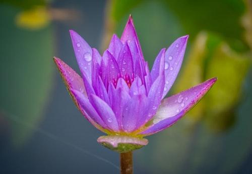 flower dewdrops