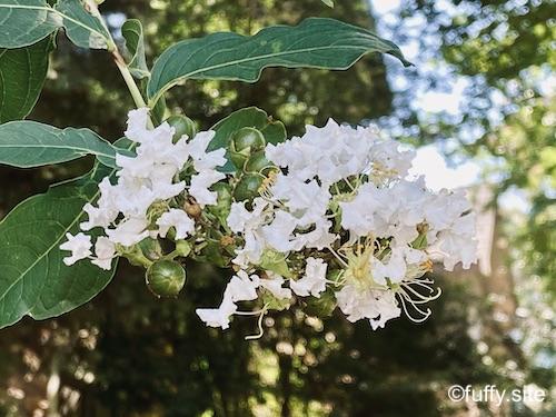 百日紅 white flowers
