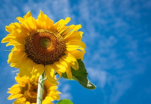 sunflowers yellow flowers