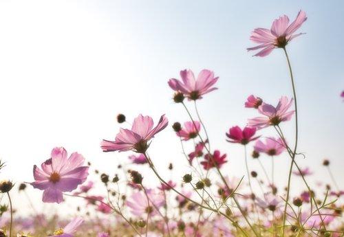 cosmos flowers コスモス