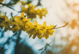 yellow flowers Tree