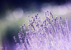 Bright Lavenders