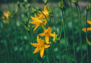 yellow flowers rain