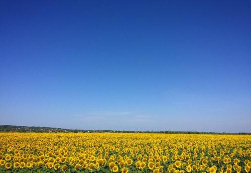 blue sky sunflowers